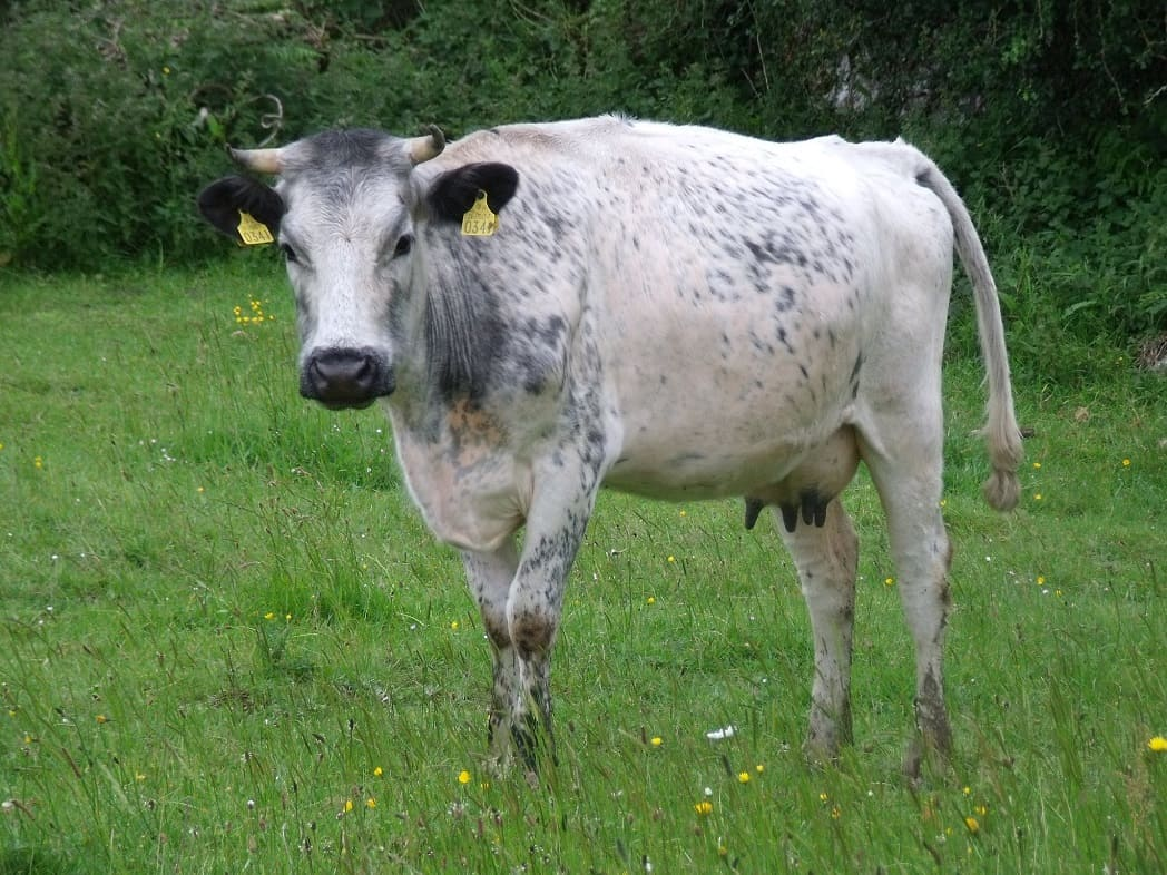 Doolin Cave farmland nature trail - Irish Moiled Cow(1)